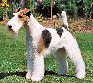 raza de perro Foxterrier