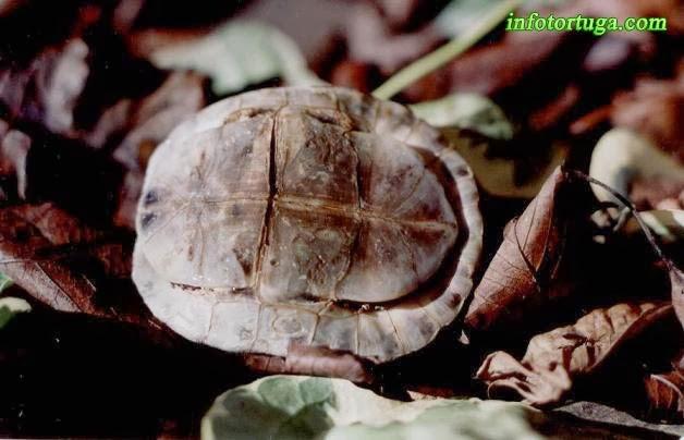Plastrón de Cuora amboinensis