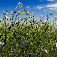 flaxseed growing in nature