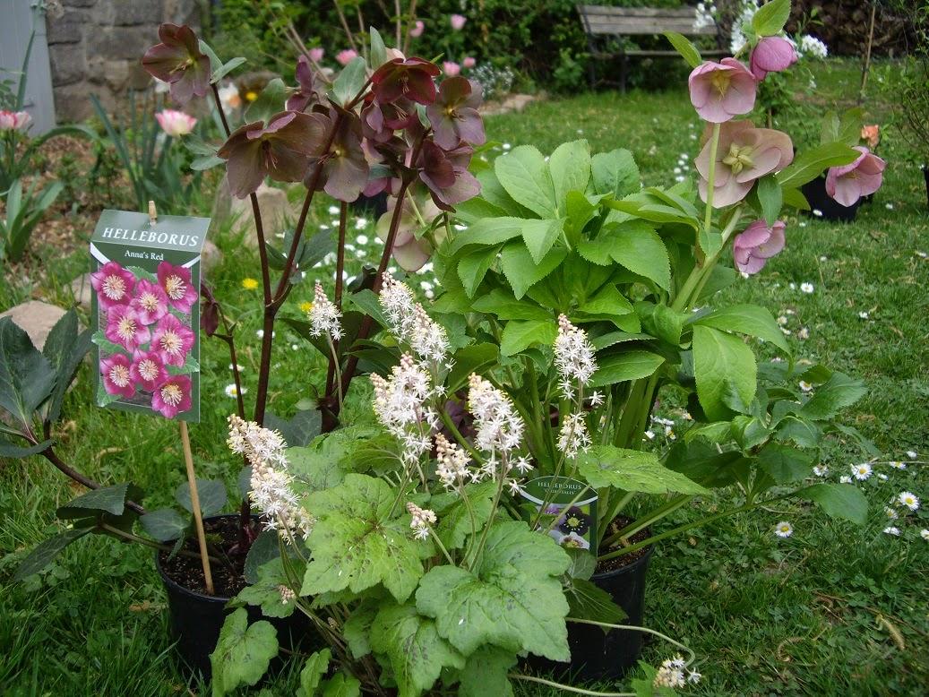 Derri re les murs de mon jardin les achats de saint jean 2 2 vivaces - Derriere les murs de mon jardin ...