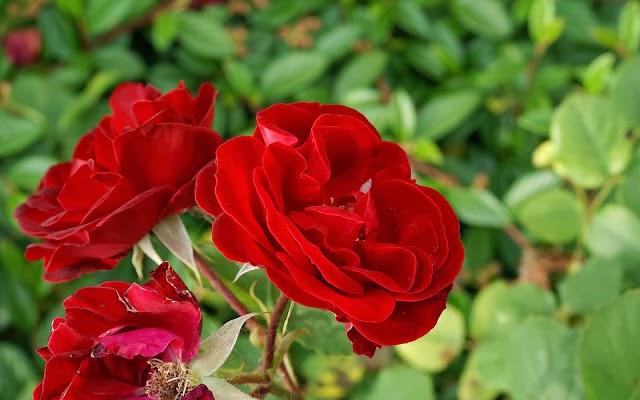 Free HD flowers