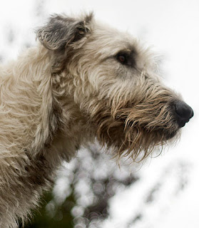 Irish Wolfhound by Dustin_Drew