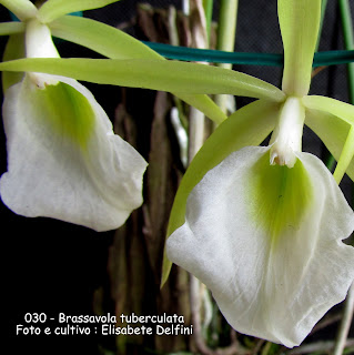 Brassavola tuberculata do blogdabeteorquideas