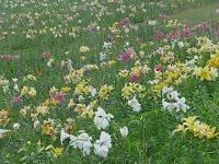 ゆりが織り成す花畑。