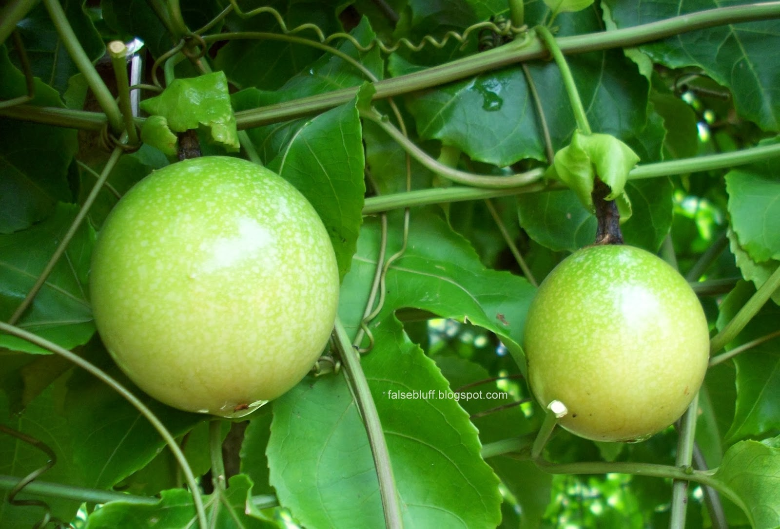 passion fruit tree healthy fruit balls