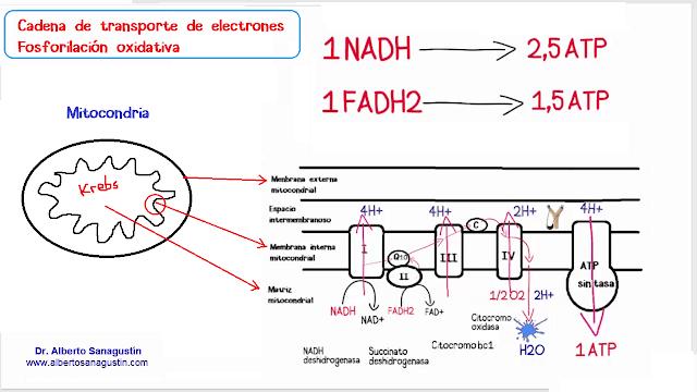 cadena de transporte de electrones, fosforilación oxidativa.