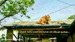 Cara Sembelihan Qurban Di Malaysia Zalim?