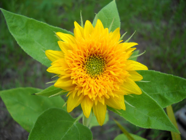 teddy bear sunflower blooming