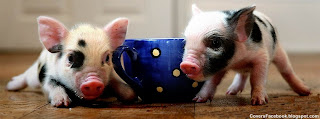 Teacup Pigs fb cover