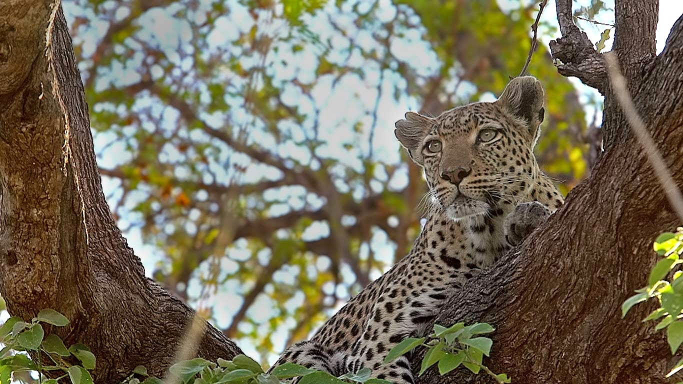 Leopard perched in a tree in the Moremi Game Reserve, Botswana (© Getty Images) 89
