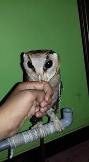 buy an owl,  barn owls for sale,  barn owl for sale,  burunghantu,  kokok beluk,  buy owl,  barn owl pet,  where to buy an owl,  owl price,  jenis owl,