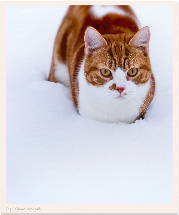 Psynopsis Cat Henry in Snow 