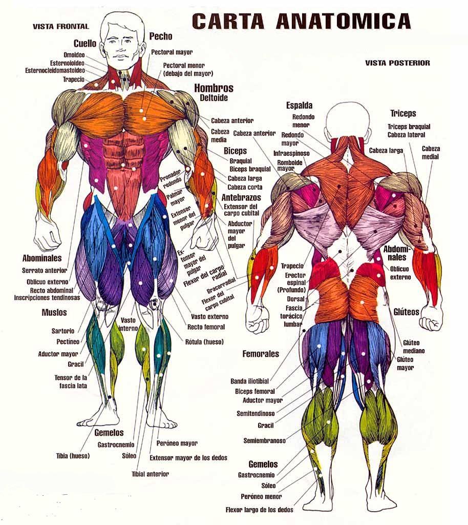 Lujoso Cartas Musculares Colección - Anatomía de Las Imágenesdel ...