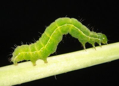 Green Caterpillar Picture
