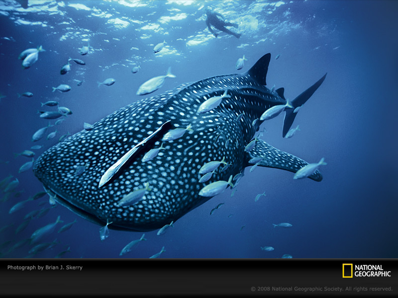 blue whale shark skerry