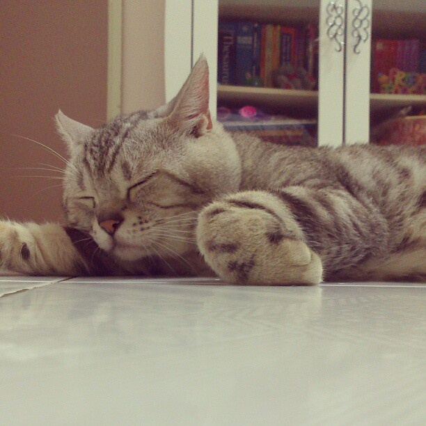 How much an American Shorthair Sleeps?