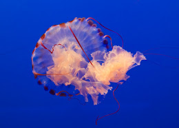Ribbons & Lace, the Portrait of a Jelly Fish