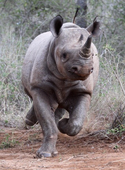 male rhino