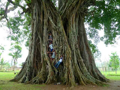 Biggest and oldest balete tree in Philippines- Negros Oriental