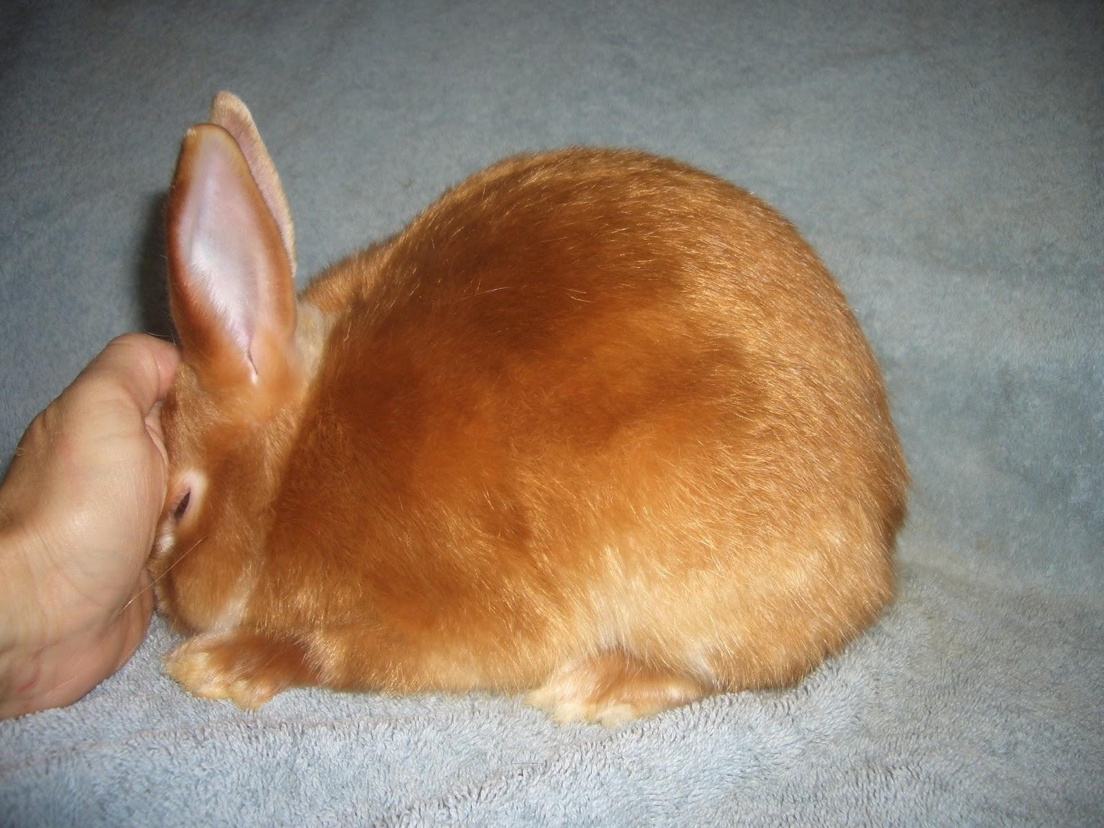 info cyberneticinc comRed Mini Satin Rabbit