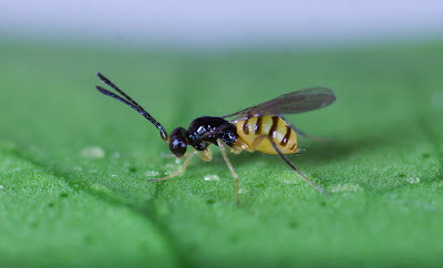 Gonatocerus ashmeadi (Hymenoptera: Mymaridae)