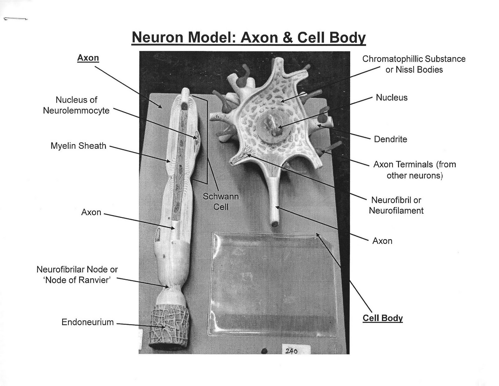 ANATOMY & PHYSIOLOGY I BIS 240: Neuron Model:Axon and Cell Body