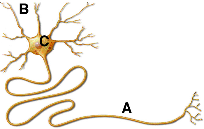 The Cellular Scale: Neurons are like Power Cords