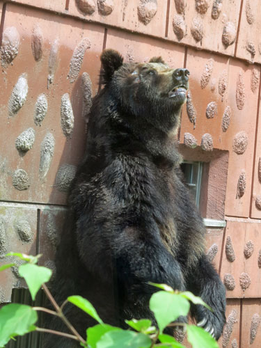 Yezo Brown Bear, Nagoya Zoo