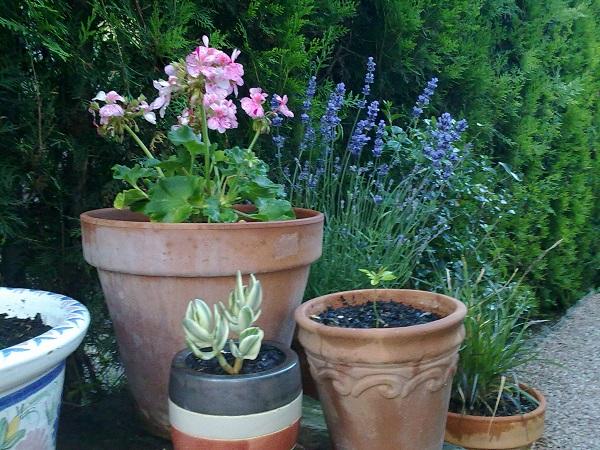 pelargonium y salvia