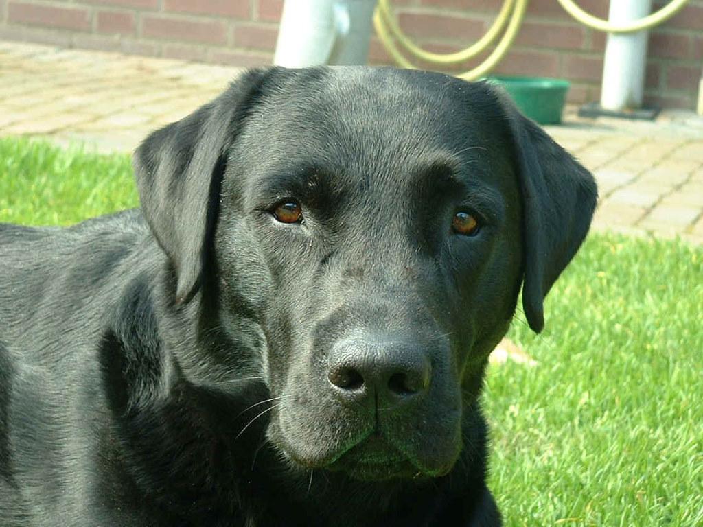 http://2.bp.blogspot.com/-J_tkh-wVv5k/TZtY9gYGzUI/AAAAAAAAAJE/vEReCW16gQ8/s1600/labrador-retriever.jpg