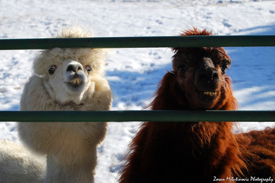 4. Funny Llamas by Zoran Milutinovic