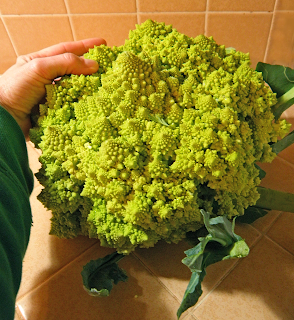 Hand Looks Small Next to Giant Green Cauliflower