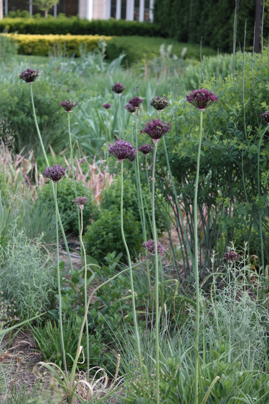 Allium atropurpureum at Lurie Garden