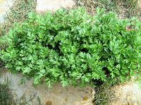 Αψιθιά - Artemisia Absinthium