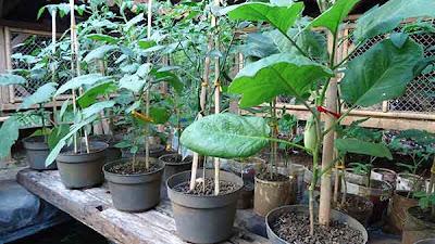 Contoh tanaman yang telah diberi pupuk cair kotoran kelinci