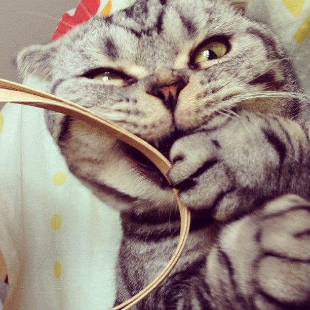 Shishi-Maru is a Scottish Fold cat from Instagram, cute cat pictures, famous Instagram cat