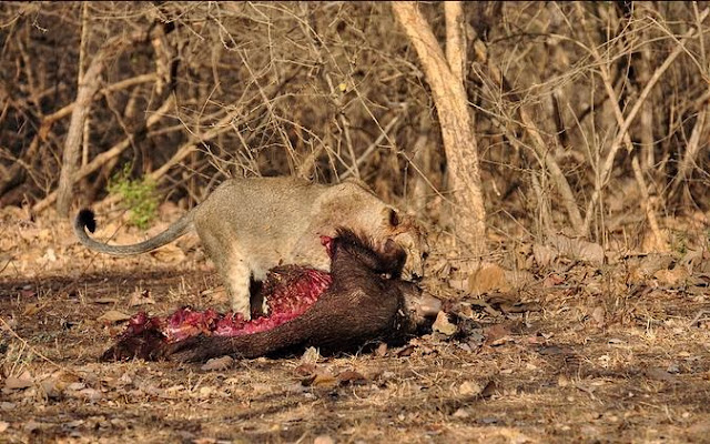 asiatic lion hunting in gir