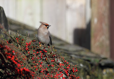 Waxwing, St. Just, Cornwall 4th November 2012 - The Deskbound Birder