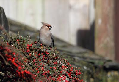 Waxwing, St. Just, Cornwall 4th November 2012 - The Deskbound Birder
