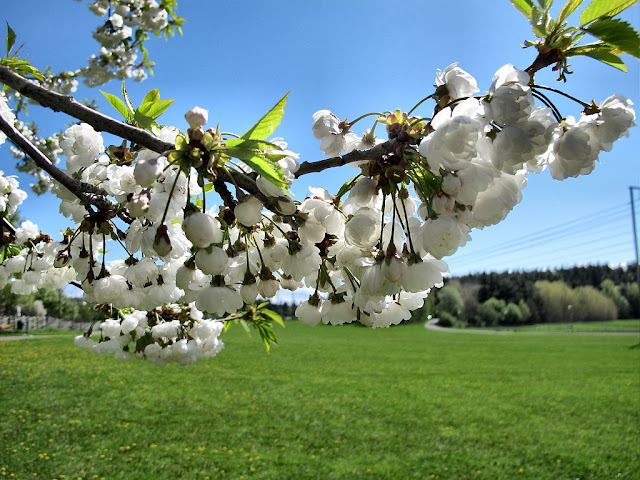 Blossom in Stockholm. Photo by Susan Wellington