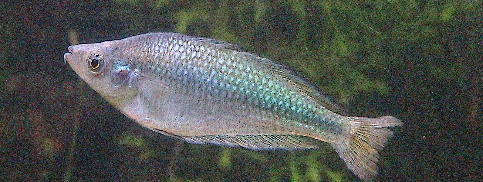 Freshwater frenzy 10 facts about australian rainbowfish for Freshwater fish facts