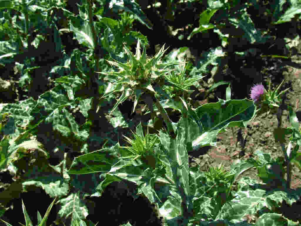 Расторопша агротехника выращивания 87