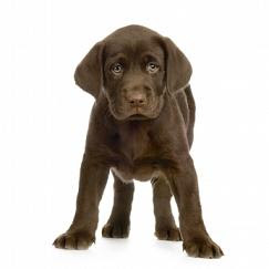 Beautiful Labrador Puppy pictures
