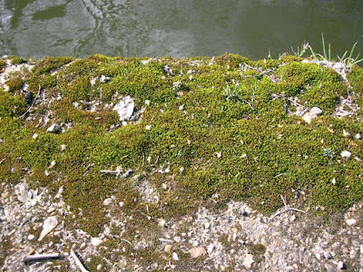 how to grow moss outdoors