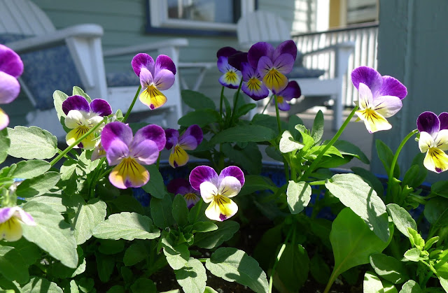 Heirloom Viola, Johnny- Jump Up