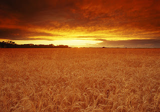 field, wheat, sunset, sky, waves of grain