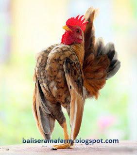 cara sukses beternak ayam serama cara merawat love bird jember online