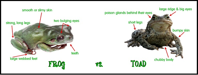 the differences between frogs and toads Frogs and toads what' s the difference  and similarities between frogs and toads  discuss the differences in frogs and toads.