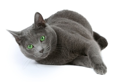 Russian Blue kitties,