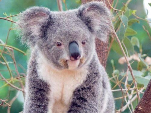Fotos de un Koala mojado